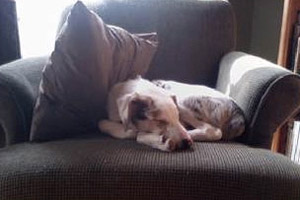 Blind and deaf Australian shepherd mix dog sleeping in a chair
