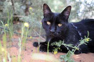 Agent the black cat enjoying his walk outside