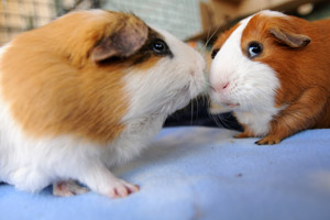 Two tan and white guinea pigs