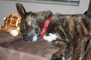 Billy the dog slepping with a stuffed animal