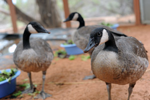 Canadian geese trio who are now grown up
