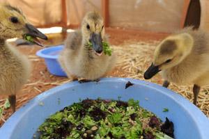 Three Canadian geese goslings