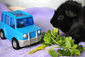 Black guinea pig with toy truck and bunch of cilantro