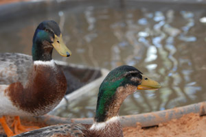 Two ducks, Frick and Frack, available for adoption