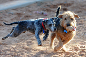 Gordo the dog and another dog running and playing