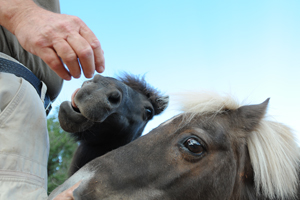 Shetland pony and mini pony begging for treats