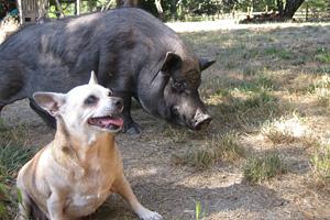 Hogan the pig and Chihuahua dog