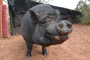 Jeffery the pig who can be adopted
