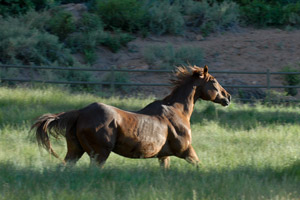 Brown horse galloping in a pasture