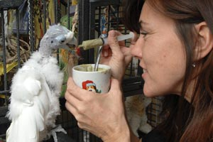 Caregiver feeding King O the parrot with a syringe