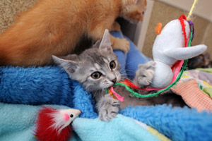 One of the kittens from the hoarding situation playing with a toy
