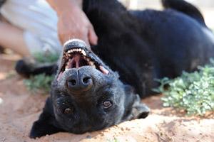 Lili Beauty, a black adoptable dog