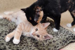 Lotus the kitten licking Rio the kitten