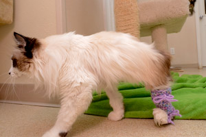 Montana the special-needs cat wearing his pink and purple legging to keep him from chewing on his leg