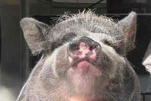 Nanuie the pig