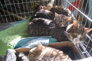 Cats in a cage who have been spayed or neutered by the Humane Society of Somerset County
