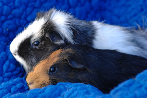 Rufus and Scout the guinea pigs