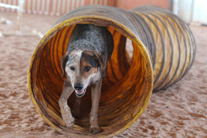 Samuri the once-obese dog successfuly exiting a tunnel during agility work