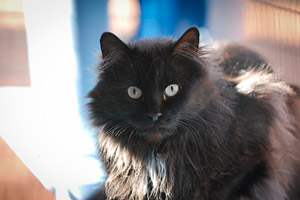 Black long hair cat from the Great Kitty Rescue in Pahrump, Nevada