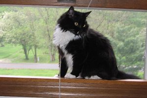 Black and white cat with FIV