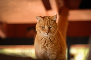 Tigger an orange cat from Pahrump, Nevada, rescue