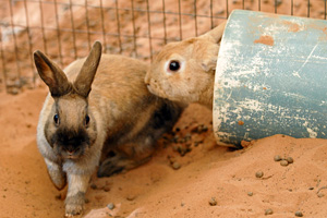 Two rabbits playing in a plastic tube