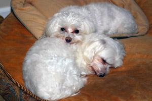 HEYorkie911 Oscar and Max