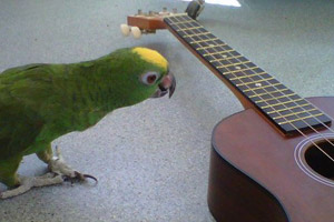 Scooby Doo the parrot checking out Heather's ukulele