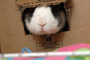 Bunny sticking her snout through a cardboard box