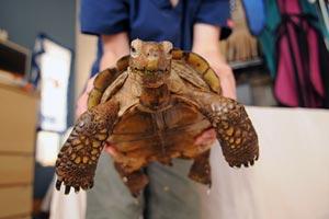 Desert tortoise getting a bath