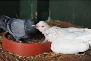 Two pigeons, one named The Todd and his girlfriend