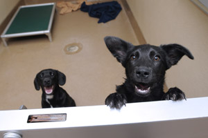 Energetic black puppies