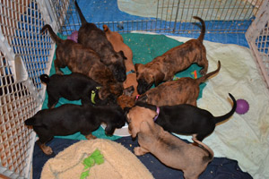 Angel the dog's puppies from Badger Rescue Animal Transport Services (BRATS)