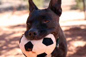 Black dog named Jagger carrying a soccer ball in his mouth