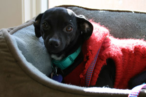 Jewel, a black Chihuahua wearing a red sweater, who was transported by plane from L.A. to New York