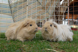 Two cute adoptable guinea pigs named Peanut and Butter