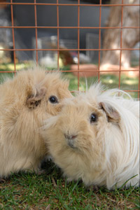 Two adorable guinea pigs in their pen