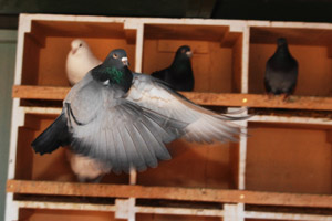 Group of pigeons in nest boxes, with one flying away