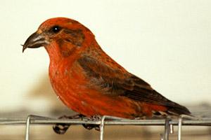 Red crossbill bird