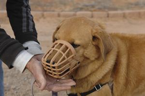 Sunshine Girl the dog learning to wear a muzzle