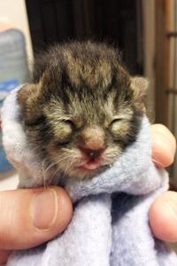 Neonatal kitten wrapped in a blanket