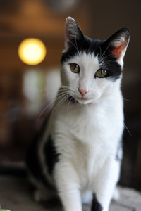 Tuxedo cat Andrew who came from a hoarding situation in Pahrump, Nevada