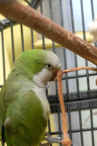 Quaker parrot chewing