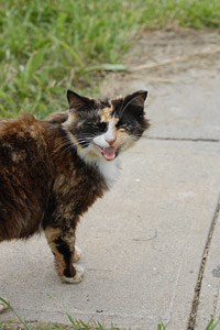 Free-roaming cat on Tangier Island who will be spayed as part of a trap neuter return (TNR) program