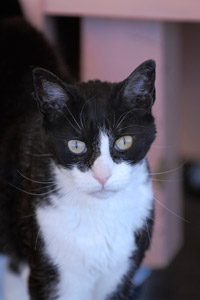 Devin, the strong-willed tuxedo cat