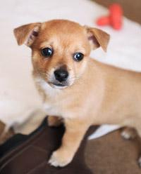 Little brown puppy