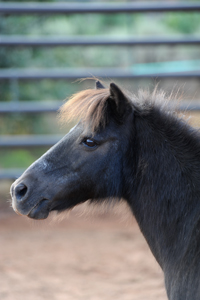 Hershey the mini pony