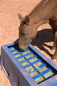 Horse eating from a puzzle feeder