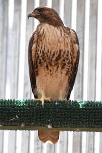 Red-tailed hawk who recovered after being hit by a truck