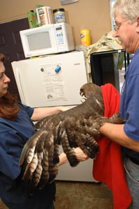 Man holding a red-tail hawk